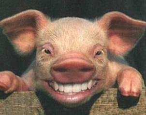 冷知识:猪的智商约等于人类3岁孩童