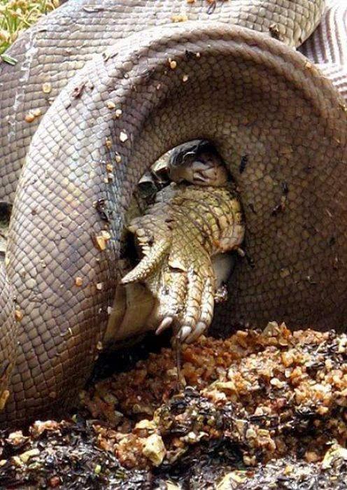 巨蟒大战食人鳄!到底谁取得了最后的胜利?