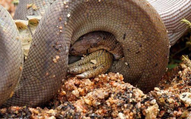 蟒蛇牙齿结构图片
